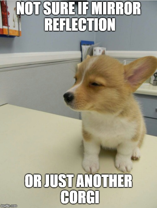 Corgidoubt | NOT SURE IF MIRROR REFLECTION OR JUST ANOTHER CORGI | image tagged in corgidoubt,mirrors,corgi | made w/ Imgflip meme maker