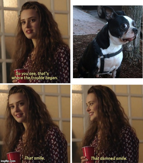 Boston Bull Terrier | image tagged in that damn smile,dog,dogs,funny dog memes | made w/ Imgflip meme maker