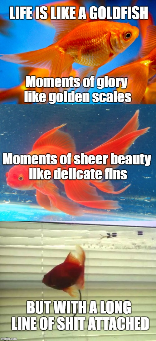 Life is Like a Goldfish | LIFE IS LIKE A GOLDFISH BUT WITH A LONG LINE OF SHIT ATTACHED Moments of glory like golden scales Moments of sheer beauty like delicate fins | image tagged in life,irony,goldfish,glory and beauty,shit,philosophical | made w/ Imgflip meme maker