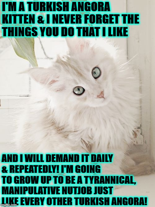 I'M A TURKISH ANGORA KITTEN & I NEVER FORGET THE THINGS YOU DO THAT I LIKE AND I WILL DEMAND IT DAILY & REPEATEDLY! I'M GOING TO GROW UP TO  | image tagged in nutjob turkish angora | made w/ Imgflip meme maker