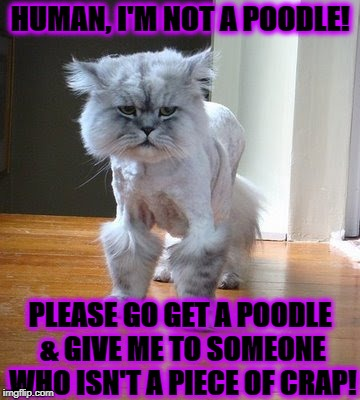 HUMAN, I'M NOT A POODLE! PLEASE GO GET A POODLE & GIVE ME TO SOMEONE WHO ISN'T A PIECE OF CRAP! | image tagged in poodle kitty | made w/ Imgflip meme maker