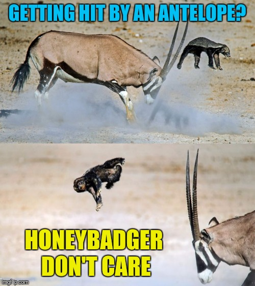 He doesn't give a flying rodents patoot  | GETTING HIT BY AN ANTELOPE? HONEYBADGER DON'T CARE | image tagged in memes,honey badger,funny,nature,i dont care | made w/ Imgflip meme maker