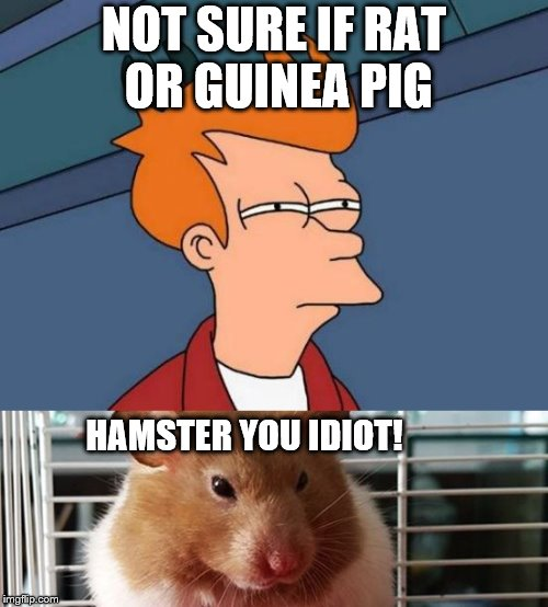 Don't offend the hamster! | NOT SURE IF RAT OR GUINEA PIG HAMSTER YOU IDIOT! | image tagged in hamster weekend,fry | made w/ Imgflip meme maker