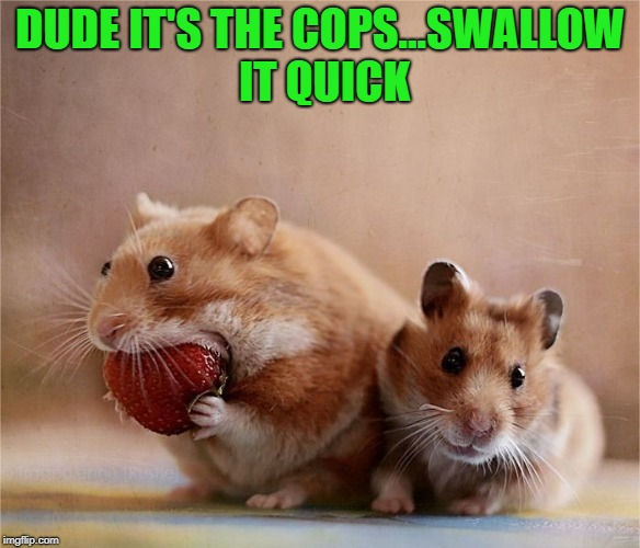 Hamster Weekend July 6-8, a bachmemeguy2, 1forpeace & Shen_Hiroku_Nagato Event. | DUDE IT'S THE COPS...SWALLOW IT QUICK | image tagged in hamsters,memes,hamster weekend,funny,busted,the fuzz | made w/ Imgflip meme maker