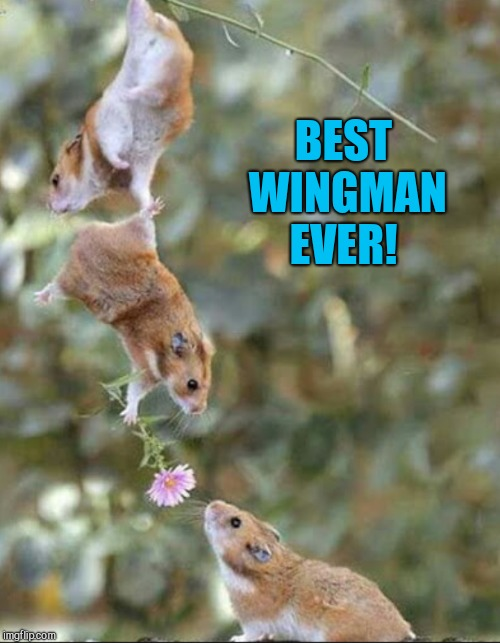 Hamster Weekend July 6-8, a bachmemeguy2, 1forpeace & Shen_Hiroku_Nagato event | BEST WINGMAN EVER! | image tagged in jbmemegeek,hamster weekend,funny animals,cute animals | made w/ Imgflip meme maker