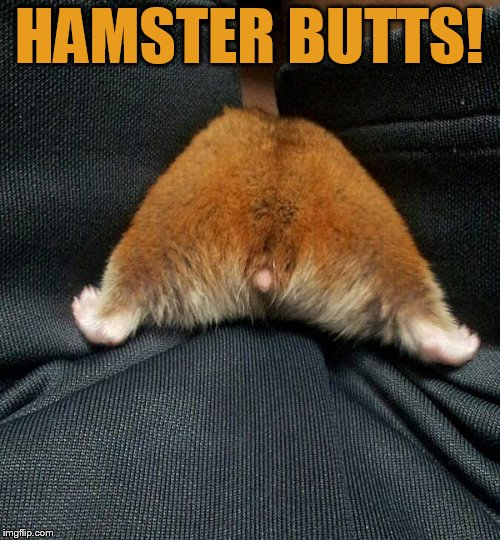 HAMSTER BUTTS! | made w/ Imgflip meme maker