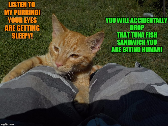 The Hungry Hypnotist!  | LISTEN TO MY PURRING! YOUR EYES ARE GETTING SLEEPY! YOU WILL ACCIDENTALLY DROP THAT TUNA FISH SANDWICH YOU ARE EATING HUMAN! | image tagged in cute cat,hungry cat | made w/ Imgflip meme maker