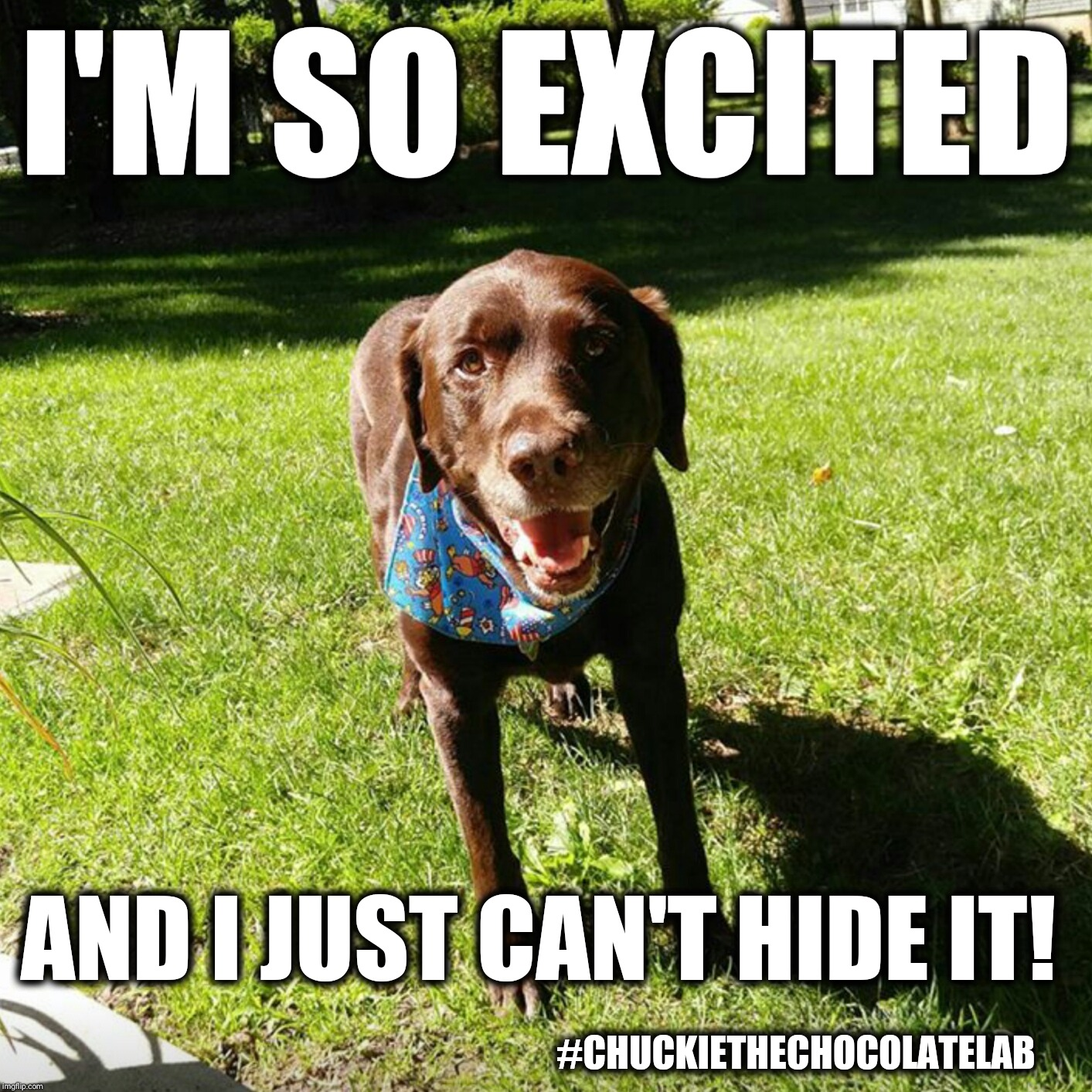 I'm so excited!  | I'M SO EXCITED #CHUCKIETHECHOCOLATELAB AND I JUST CAN'T HIDE IT! | image tagged in chuckie the chocolate lab,excited,dogs,memes,cute | made w/ Imgflip meme maker