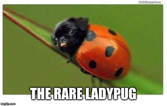 The rare X |  THE RARE LADYPUG | image tagged in the rare ladypug,memes,funny,animals | made w/ Imgflip meme maker