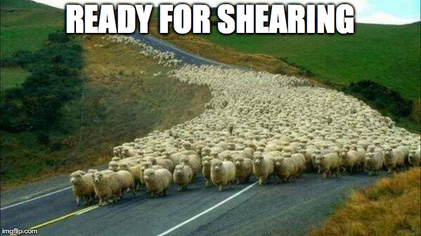 READY FOR SHEARING | made w/ Imgflip meme maker