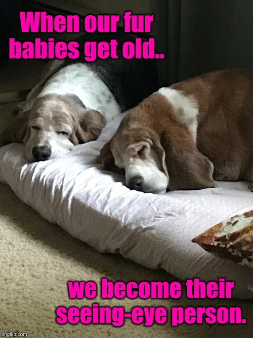 Fur babies are family  | When our fur babies get old.. we become their seeing-eye person. | image tagged in old dogs,love my fur babies,animals are family,love and friendship,role reversal | made w/ Imgflip meme maker