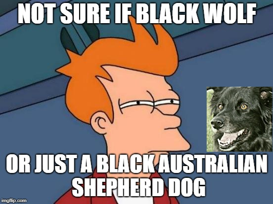 Futurama Fry | NOT SURE IF BLACK WOLF OR JUST A BLACK AUSTRALIAN SHEPHERD DOG | image tagged in memes,futurama fry,riley the australian shepherd,australian shepherd,dogs,wolves | made w/ Imgflip meme maker