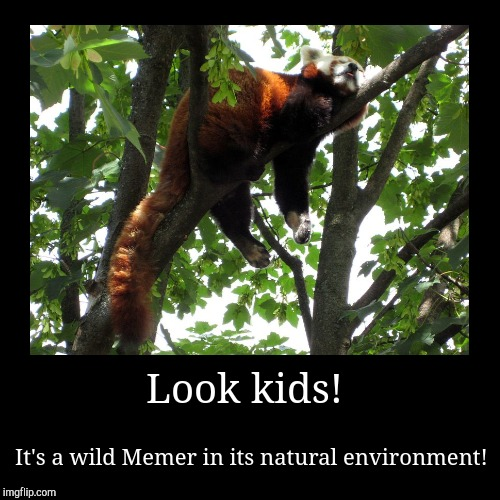 Me During The Summer | Look kids! | It's a wild Memer in its natural environment! | image tagged in funny,demotivationals,summer vacation,red panda,sleep,memers | made w/ Imgflip demotivational maker