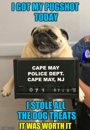 Mugshot for a Pug | I GOT MY PUGSHOT TODAY I STOLE ALL THE DOG TREATS IT WAS WORTH IT | image tagged in memes,funny,pugs,dogs,mugshot,bad pun dog | made w/ Imgflip meme maker