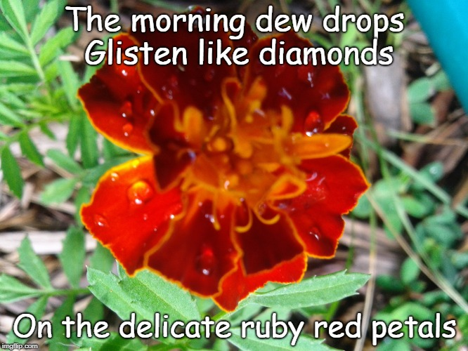 Ruby Red Flower | The morning dew drops    Glisten like diamonds On the delicate ruby red petals | image tagged in marigold,flower,garden,dew,morning,petal | made w/ Imgflip meme maker