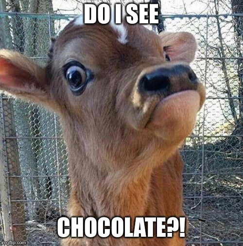 Eye spy with my cow eye | DO I SEE CHOCOLATE?! | image tagged in memes,cow,eye spy,do i see | made w/ Imgflip meme maker