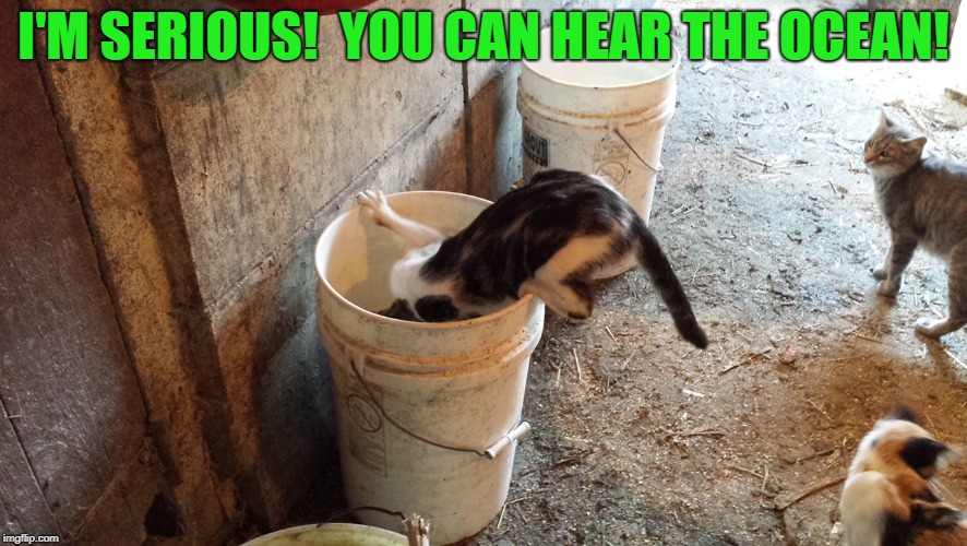 Crazy cat antics | I'M SERIOUS!  YOU CAN HEAR THE OCEAN! | image tagged in funny memes,cats,funny cats,farm,funny animals | made w/ Imgflip meme maker