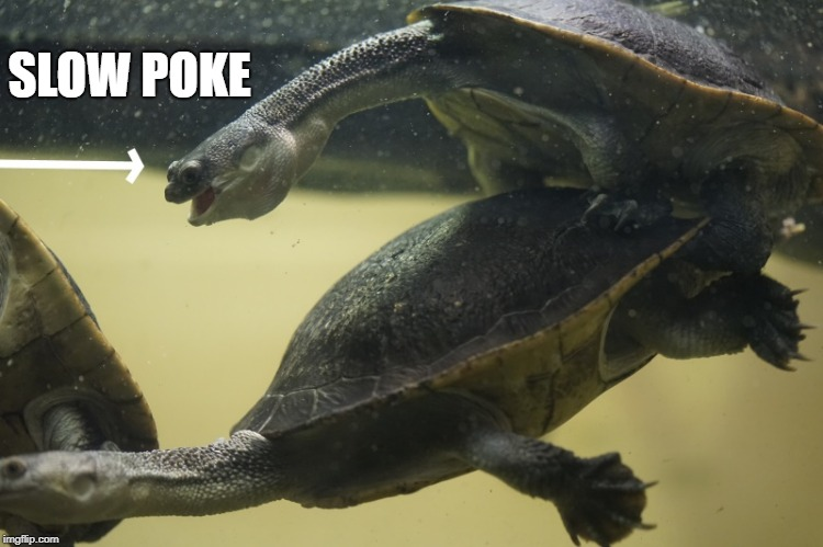 slow poke | SLOW POKE | image tagged in turtles,slow,funny | made w/ Imgflip meme maker