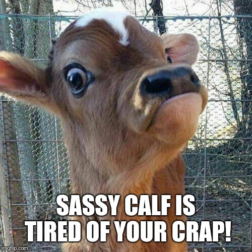 Sassy calf | SASSY CALF IS TIRED OF YOUR CRAP! | image tagged in calf,sassy,crap,fed up | made w/ Imgflip meme maker