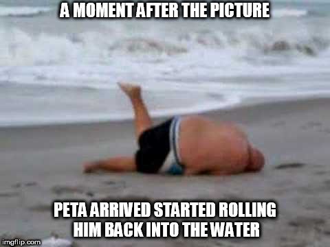 thought they outlawed  whaling | A MOMENT AFTER THE PICTURE PETA ARRIVED STARTED ROLLING HIM BACK INTO THE WATER | image tagged in peta,fat guy at beach,beached whale | made w/ Imgflip meme maker