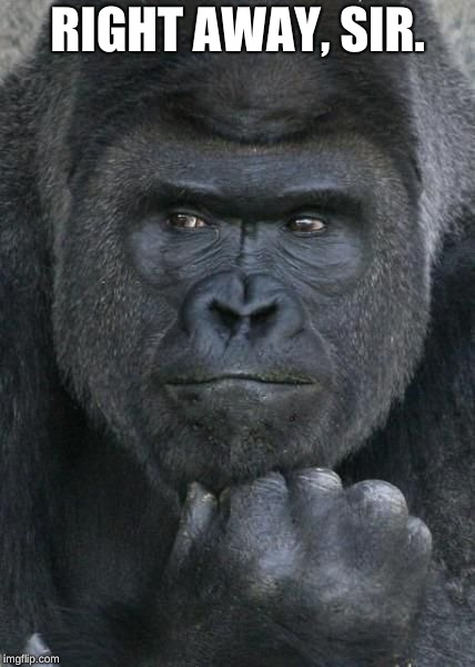 Handsome Gorilla | RIGHT AWAY, SIR. | image tagged in handsome gorilla | made w/ Imgflip meme maker
