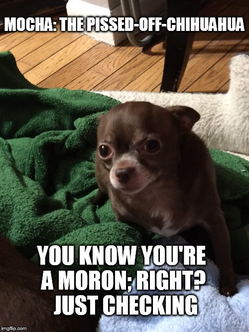 MOCHA: THE PISSED-OFF-CHIHUAHUA YOU KNOW YOU'RE A MORON; RIGHT?  JUST CHECKING | image tagged in funny | made w/ Imgflip meme maker
