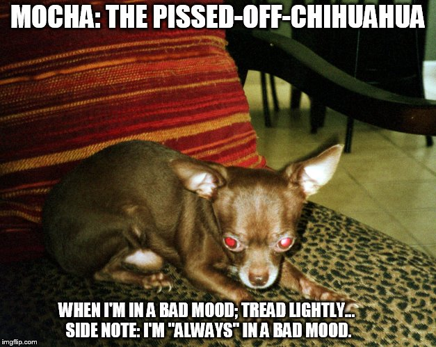 "Mocha: The Pissed-Off-Chihuahua | MOCHA: THE PISSED-OFF-CHIHUAHUA WHEN I'M IN A BAD MOOD; TREAD LIGHTLY... SIDE NOTE: I'M ""ALWAYS"" IN A BAD MOOD. 