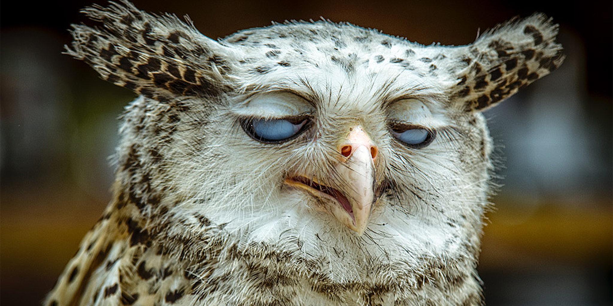 Owl Eye Roll Template