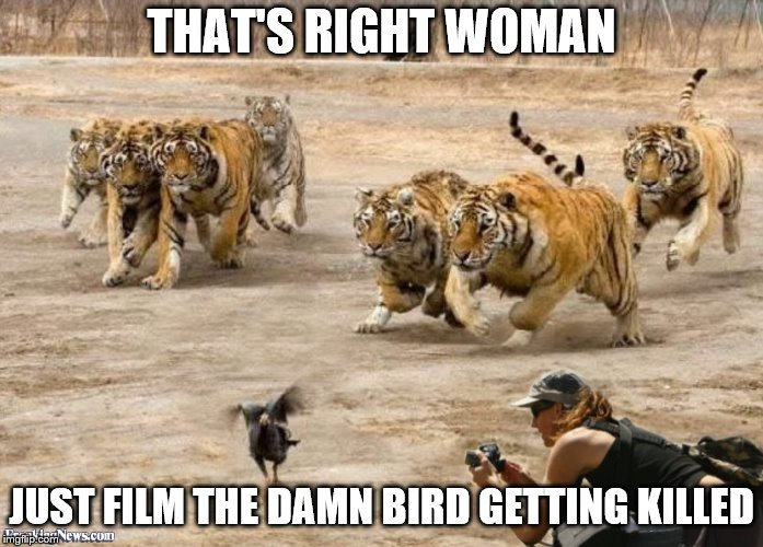 :'( | THAT'S RIGHT WOMAN JUST FILM THE DAMN BIRD GETTING KILLED | image tagged in memes,tiger,birds,cruel,sad,prey | made w/ Imgflip meme maker