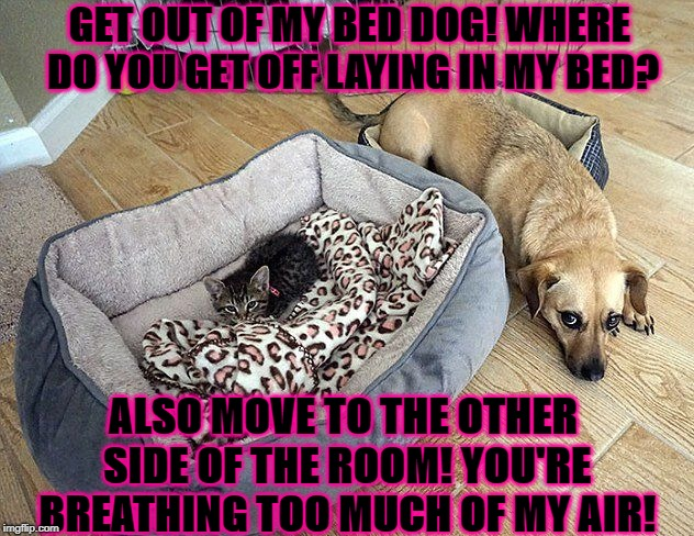 GET OUT OF MY BED DOG! WHERE DO YOU GET OFF LAYING IN MY BED? ALSO MOVE TO THE OTHER SIDE OF THE ROOM! YOU'RE BREATHING TOO MUCH OF MY AIR! | image tagged in feline tyrant | made w/ Imgflip meme maker