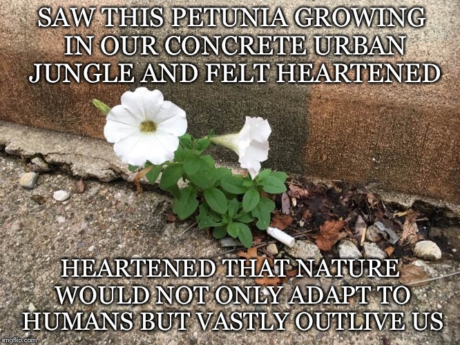 Heartened | SAW THIS PETUNIA GROWING IN OUR CONCRETE URBAN JUNGLE AND FELT HEARTENED HEARTENED THAT NATURE WOULD NOT ONLY ADAPT TO HUMANS BUT VASTLY OUT | image tagged in petunia,nature,adapt,urban,concrete,outlive | made w/ Imgflip meme maker