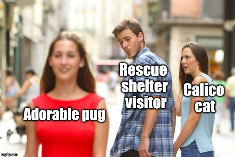 Distracted Boyfriend Meme | Adorable pug Rescue shelter  visitor Calico cat | image tagged in memes,distracted boyfriend | made w/ Imgflip meme maker