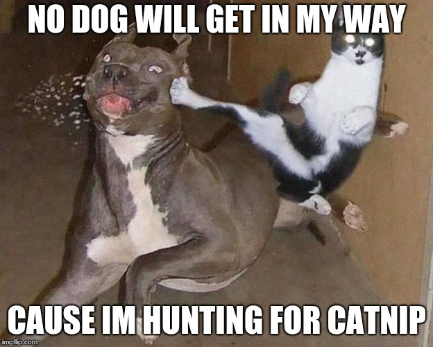 Cats & Dogs | NO DOG WILL GET IN MY WAY CAUSE IM HUNTING FOR CATNIP | image tagged in cats  dogs | made w/ Imgflip meme maker