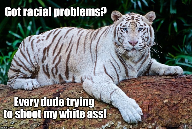Tiger week is here!  | Got racial problems? Every dude trying to shoot my white ass! | image tagged in memes,albino,tiger week,hunted,problems | made w/ Imgflip meme maker