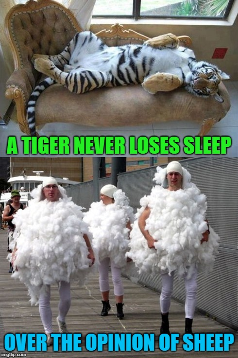 Tiger Week Jul 29 - Aug 5, A TigerLegend1046 event | A TIGER NEVER LOSES SLEEP OVER THE OPINION OF SHEEP | image tagged in sleeping tiger,memes,sheeple,funny,think for yourself,tiger week | made w/ Imgflip meme maker