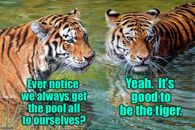 Tiger week | Ever notice we always get the pool all to ourselves? Yeah.  It's good to be the tiger. | image tagged in memes,tiger week,swimming,pool,privacy | made w/ Imgflip meme maker