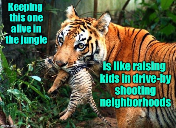 Kids in the Jungle | Keeping this one alive in the jungle is like raising kids in drive-by shooting neighborhoods | image tagged in tiger week,drive-by,jungle,kids,alive,mama tiger | made w/ Imgflip meme maker