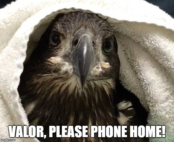 Valor, Please Phone Home | VALOR, PLEASE PHONE HOME! | image tagged in bald eagles naturally,bald eagle,valor | made w/ Imgflip meme maker