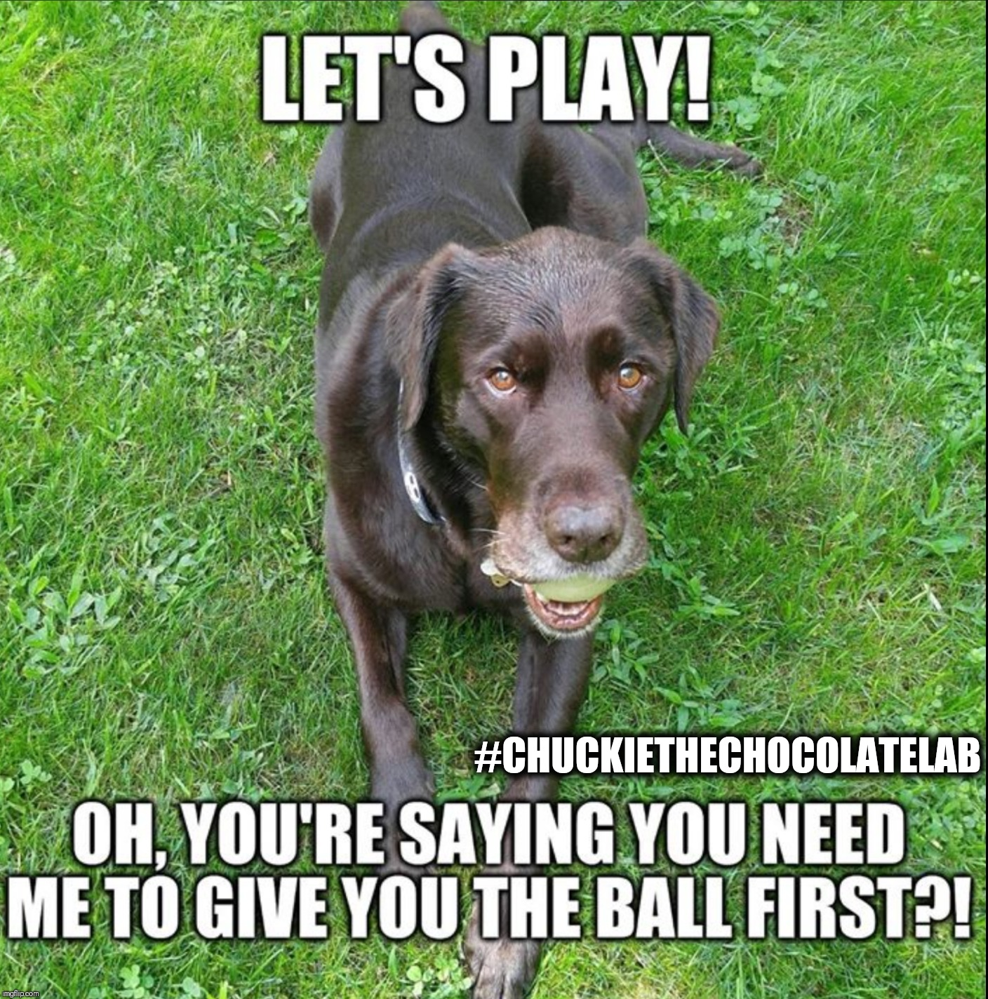 Play ball! | #CHUCKIETHECHOCOLATELAB | image tagged in chuckie the chocolate lab,ball,funny,dogs,memes | made w/ Imgflip meme maker