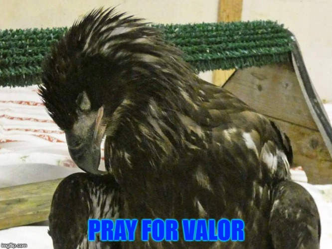 PRAY FOR VALOR | PRAY FOR VALOR | image tagged in valor,bald eagles,juvenile bald eagle | made w/ Imgflip meme maker