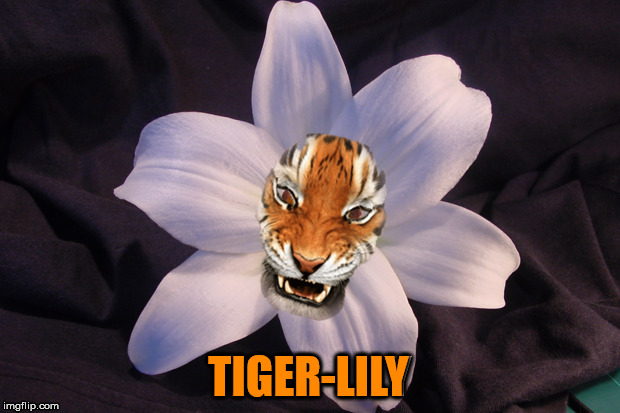 A tiger-lily. Tiger Week 2018, July 29 - August 5, a TigerLegend1046 event | TIGER-LILY | image tagged in memes,tiger lily,tiger week,tiger week 2018,tigerlegend1046,flower | made w/ Imgflip meme maker