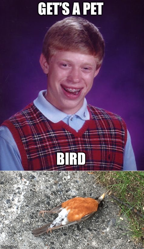 GET'S A PET BIRD | image tagged in bad luck brian,funny memes,bird | made w/ Imgflip meme maker