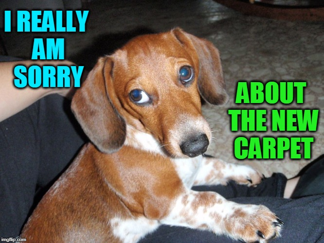 Sad-Eye Puppy Really is Sorry | I REALLY AM SORRY ABOUT THE NEW CARPET | image tagged in vince vance,dogs,cute puppies,an accident,how can you be mad,animal memes | made w/ Imgflip meme maker