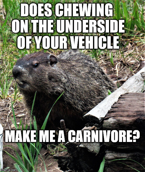 wouldchuck | DOES CHEWING ON THE UNDERSIDE OF YOUR VEHICLE MAKE ME A CARNIVORE? | image tagged in wouldchuck | made w/ Imgflip meme maker