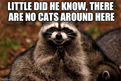 Evil Plotting Raccoon Meme | LITTLE DID HE KNOW, THERE ARE NO CATS AROUND HERE | image tagged in memes,evil plotting raccoon | made w/ Imgflip meme maker