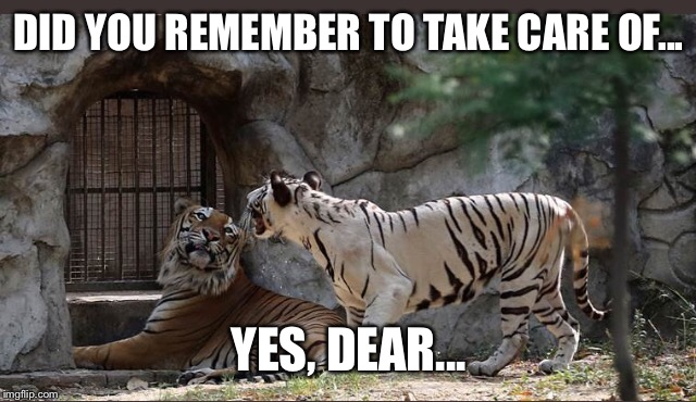 Tigers | DID YOU REMEMBER TO TAKE CARE OF... YES, DEAR... | image tagged in tiger,bengals,cats,cat,funny memes,memes | made w/ Imgflip meme maker
