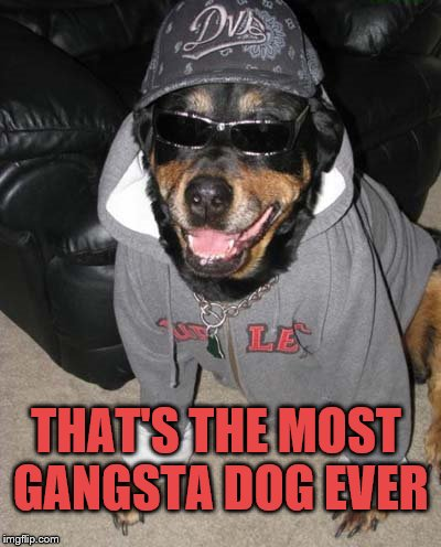Gangsta Dog | THAT'S THE MOST GANGSTA DOG EVER | image tagged in gangsta dog | made w/ Imgflip meme maker