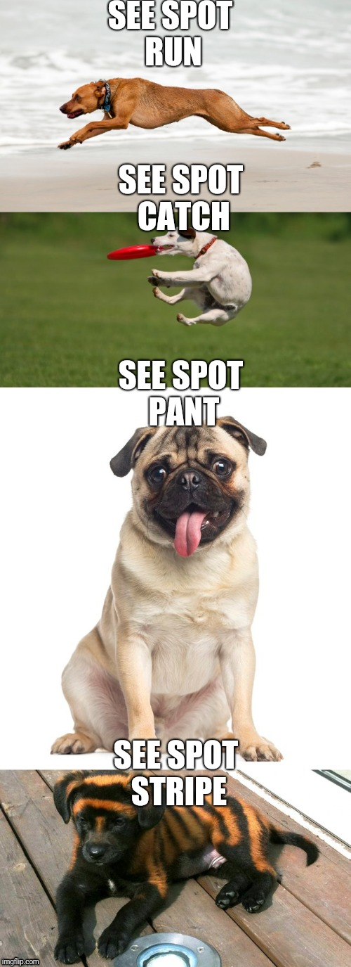 See Spot | SEE SPOT RUN SEE SPOT STRIPE SEE SPOT CATCH SEE SPOT PANT | image tagged in dog,see,spotted | made w/ Imgflip meme maker