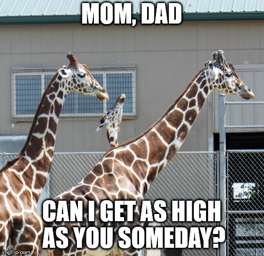 baby giraffe photobomb | MOM, DAD CAN I GET AS HIGH AS YOU SOMEDAY? | image tagged in baby giraffe photobomb | made w/ Imgflip meme maker