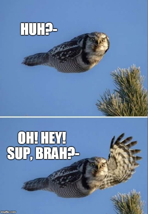 Sup Brah Owl | HUH?- OH! HEY! SUP, BRAH?- | image tagged in memes,owls,owl | made w/ Imgflip meme maker